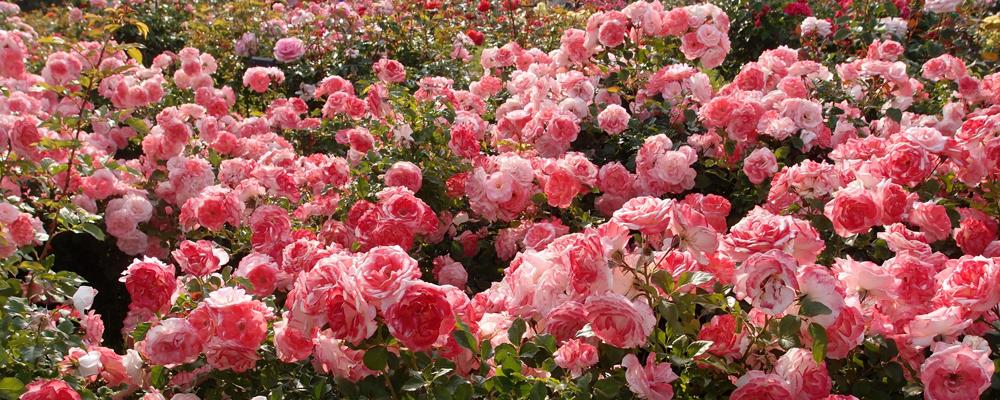 сажены роз Крым