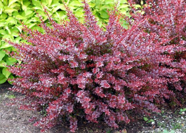 Характер роста: Колючий с красно-коричневой корой, прямостоящий, компактный. Зона морозоустойчивости: 5А Листва / Хвоя: Листья периодически опадающие, плотно посаженные, яйцевидной формы 2-3 см длинной, темного красно-пурпурного и зеленого цвета. Цветы / Плоды: Цветы желтые или красноватые, в мае, сменяемые мелкими, красно-коралловыми, надолго остающимися на растении плодами. Обрезка: Переносит любую обрезку. Отношение к влаге / полив: Полив умеренный. Отношение к свету: Предпочитает свет Отношение к почве: Хорошо растет в любой почве даже без ухода. Применение: Образует прекрасные бордюры и декоративные живые изгороди. Примечание: Один из наиболее известных и наиболее часто выращиваемых кустарников в итальянских садах.
