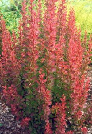 Berberis thunbergii Red pillar