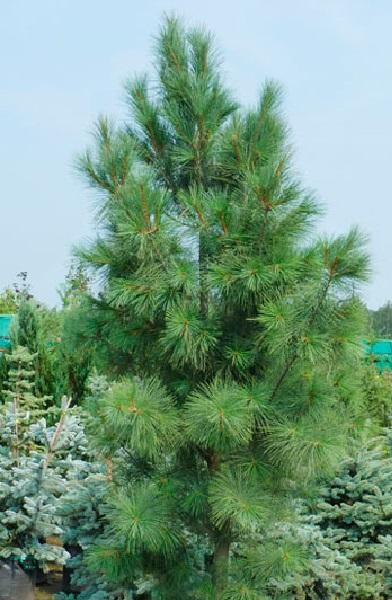 Pinus strobus Fastigiata