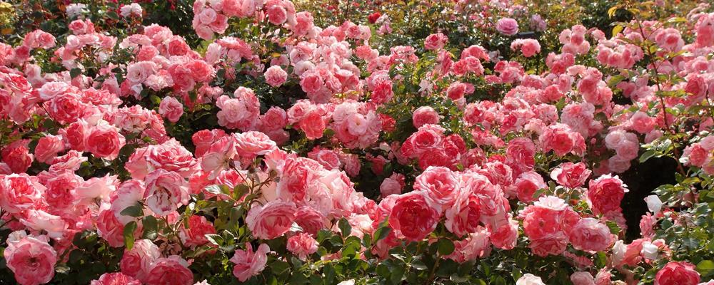 саженцы роз Крым